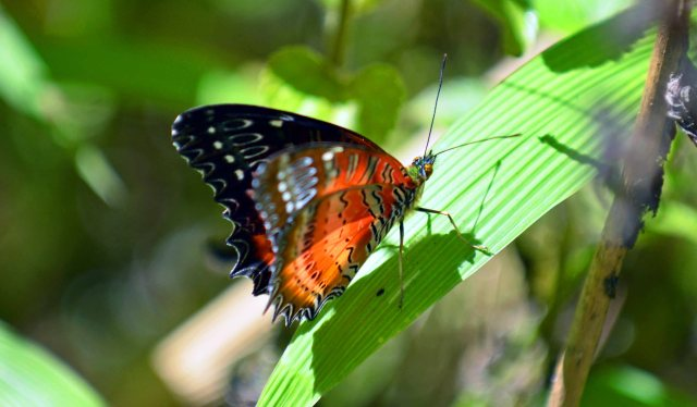 Red Lacewing (Cethosia bilbis bilbis) male with wings half open