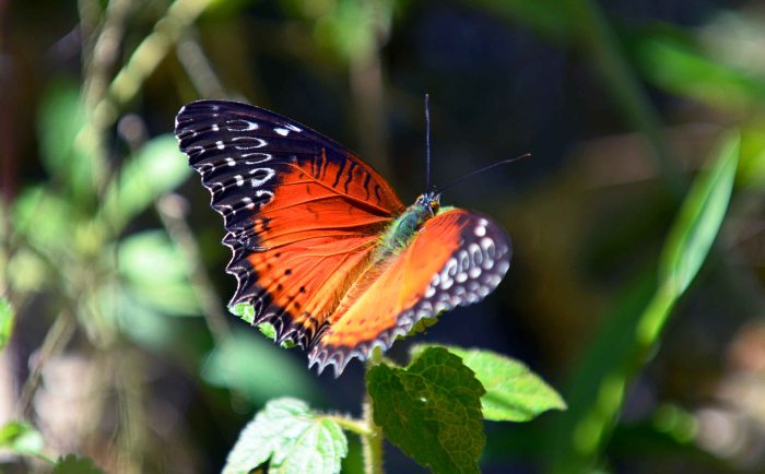 Red Lacewing (Cethosia bilbis bilbis) male)