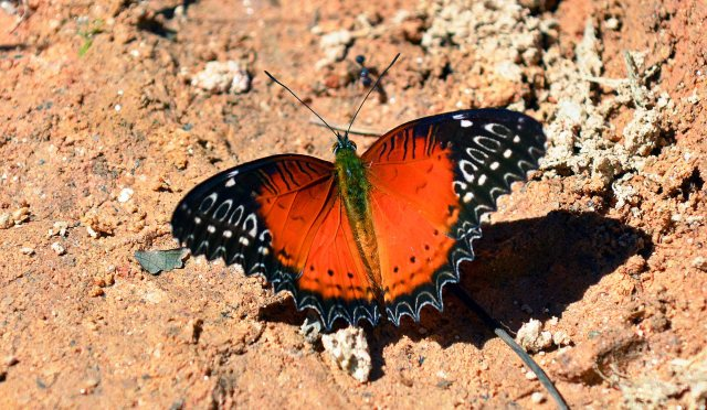 Red Lacewing (Cethosia bilbis bilbis) male upperside