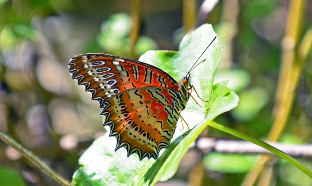 Red Lacewing (Cethosia bilbis bilbis) male underside
