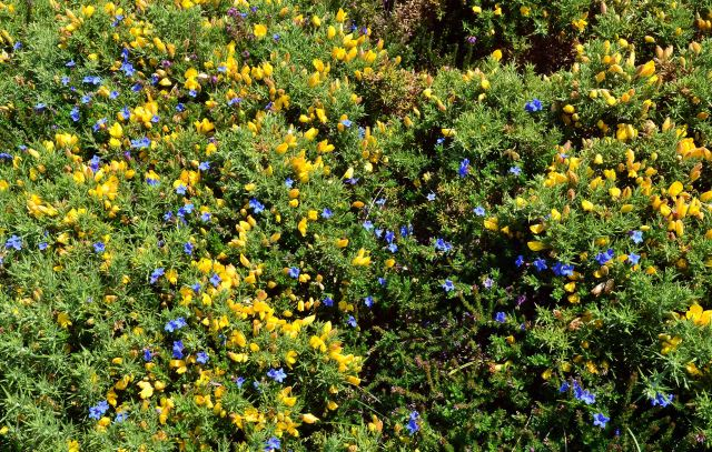 Scrambling Gromwell (Lithodora diffusa or L. prostrata) and gorse in Galicia