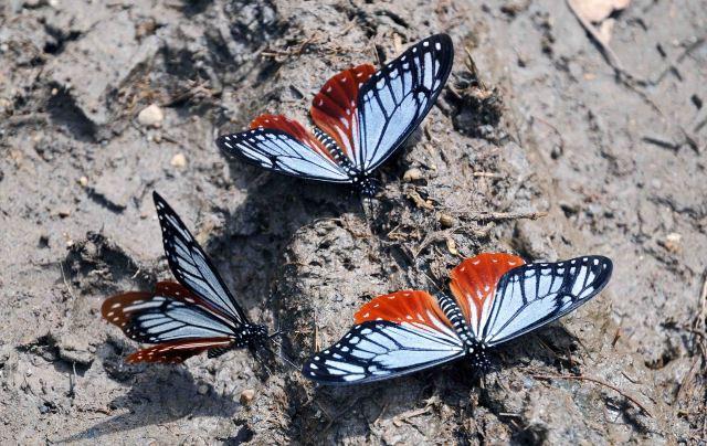 Tawny Mimes (Papilio agestor) mud-puddling behaviour.