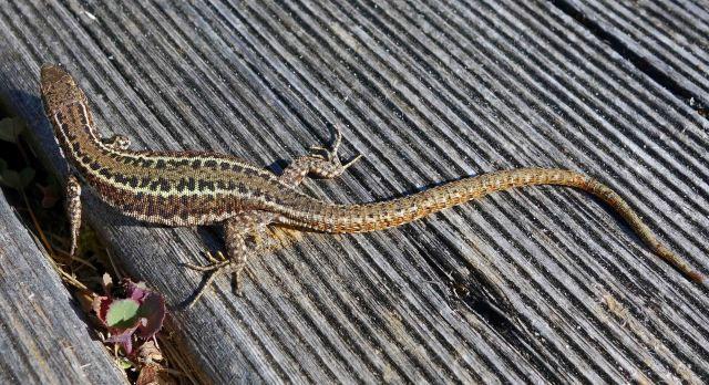 Bocage's Wall Lizard, Podarcis bocagei
