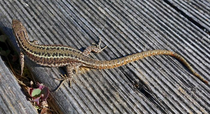 Bocage's Wall Lizard, Podarcis bocagei