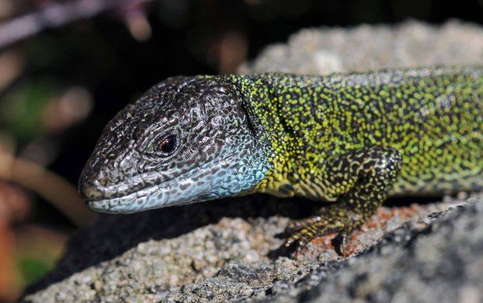 Schreiber's Green Lizard (Lacerta schreiberi)