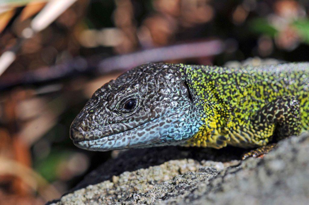 Lizard (Lacerta schreiberi)
