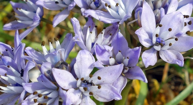 Ants on Spring Squill