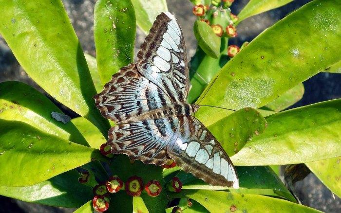 Clipper Parthenos sylvia apicalis male