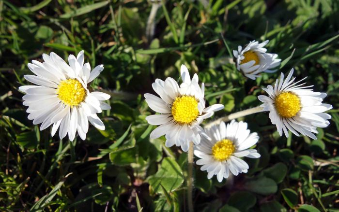 Common daisies (Bellis perennis)
