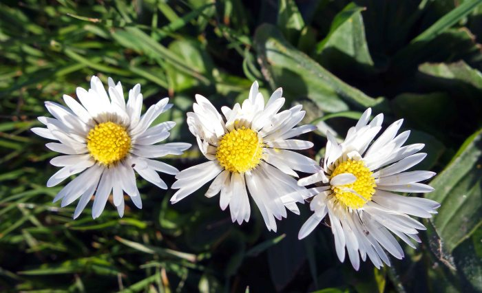 Common daises