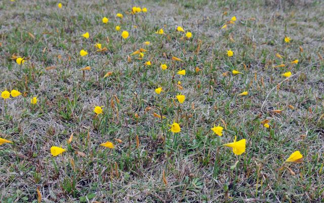 Hoop Petticoat daffodils(Narcissus bulbocdium) in field