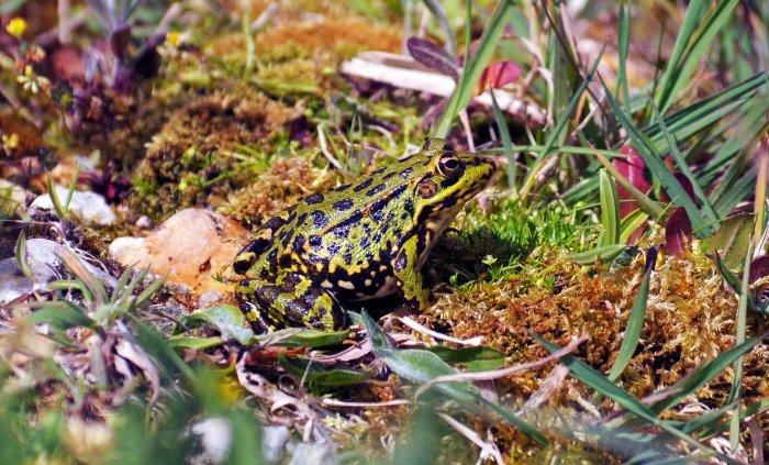 Marsh frog (Rana ridibunda) sitting by the edge of the pool