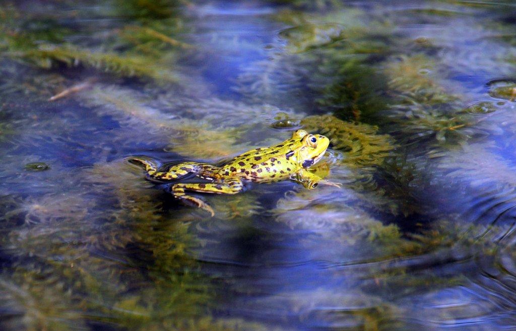 Marsh frog (Rana ridibunda) floating or resting