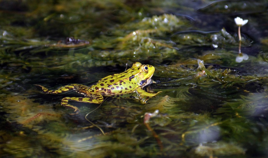 Marsh frog (Rana ridibunda) floating on a pond surface
