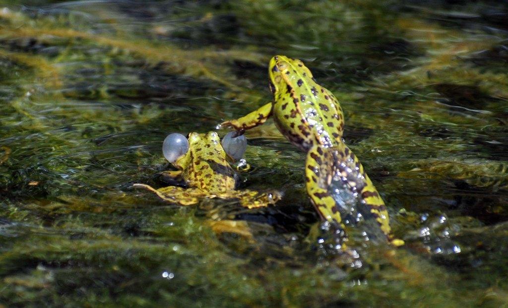 Marsh frog (Rana ridibunda) leaping