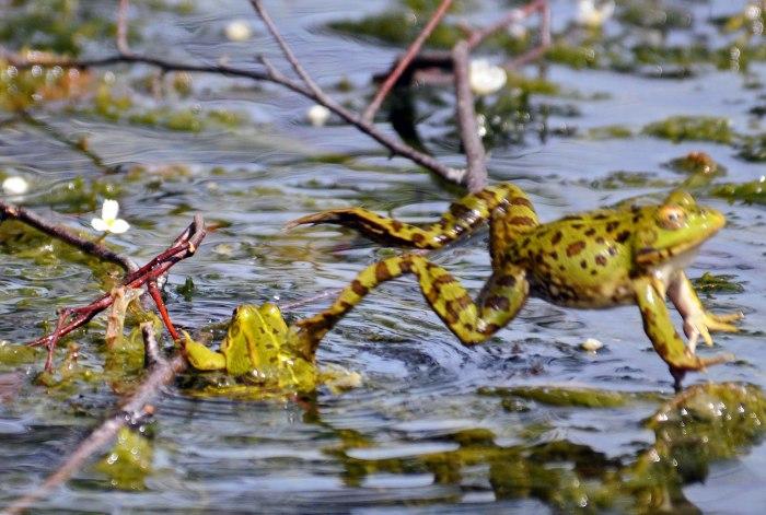 Marsh frog (Rana ridibunda) leaping out of the pond