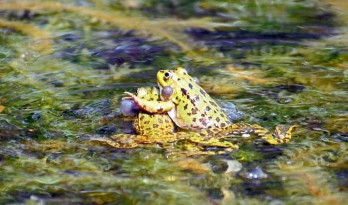 Marsh frogs (Rana ridibunda) fighting? With vocal sacs enlarged