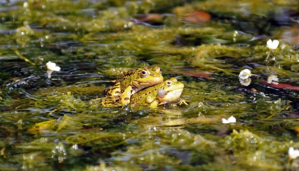 Marsh frogs (Rana ridibunda) mating