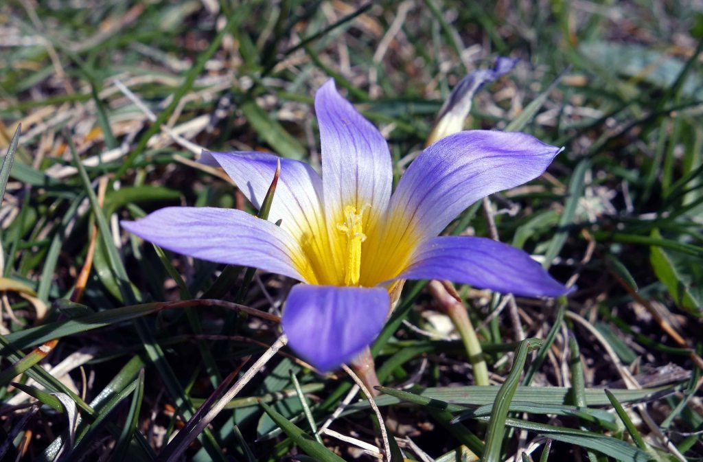 Romulea bulbocodium flower in Galicia, Spain