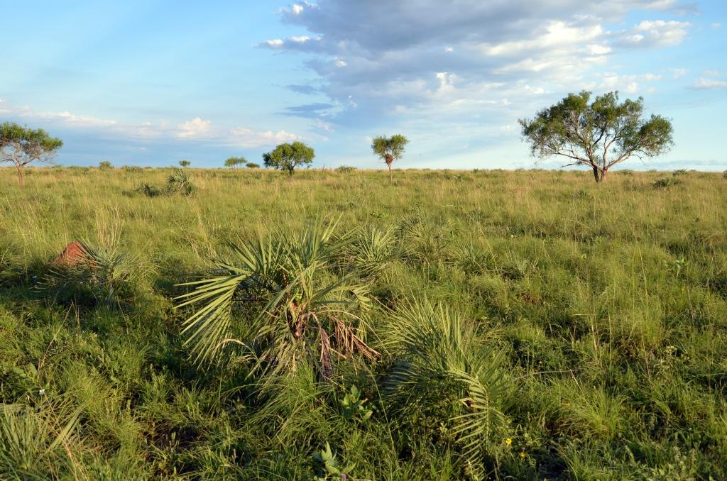 Yatay palm (Butia paraguayensis)