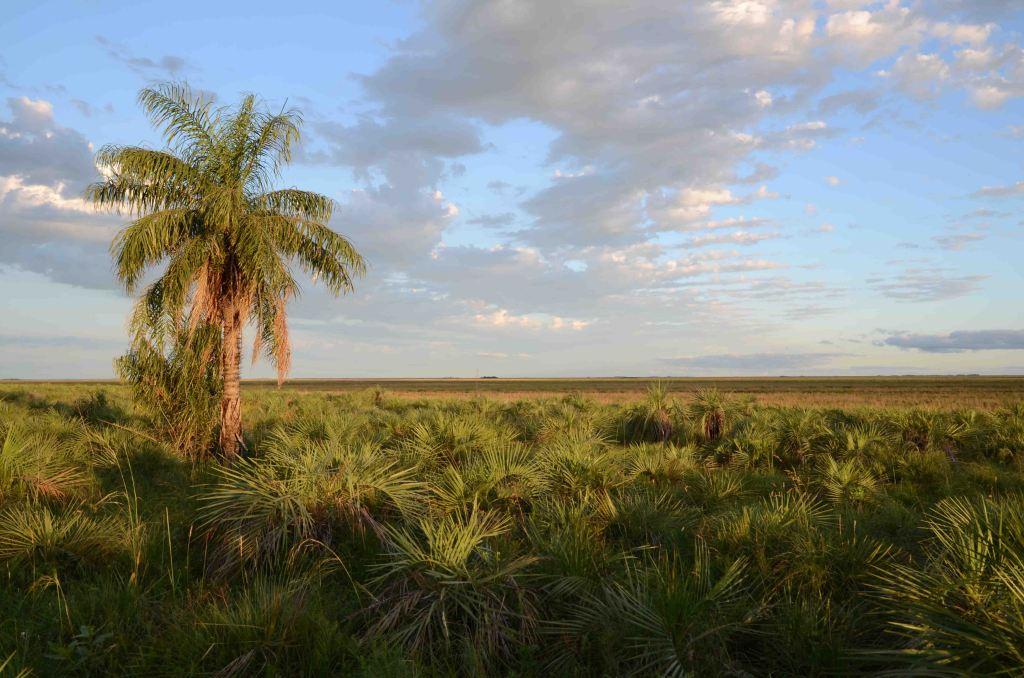 Yatay palms (Butia paraguayensis) in Ibara wetlands
