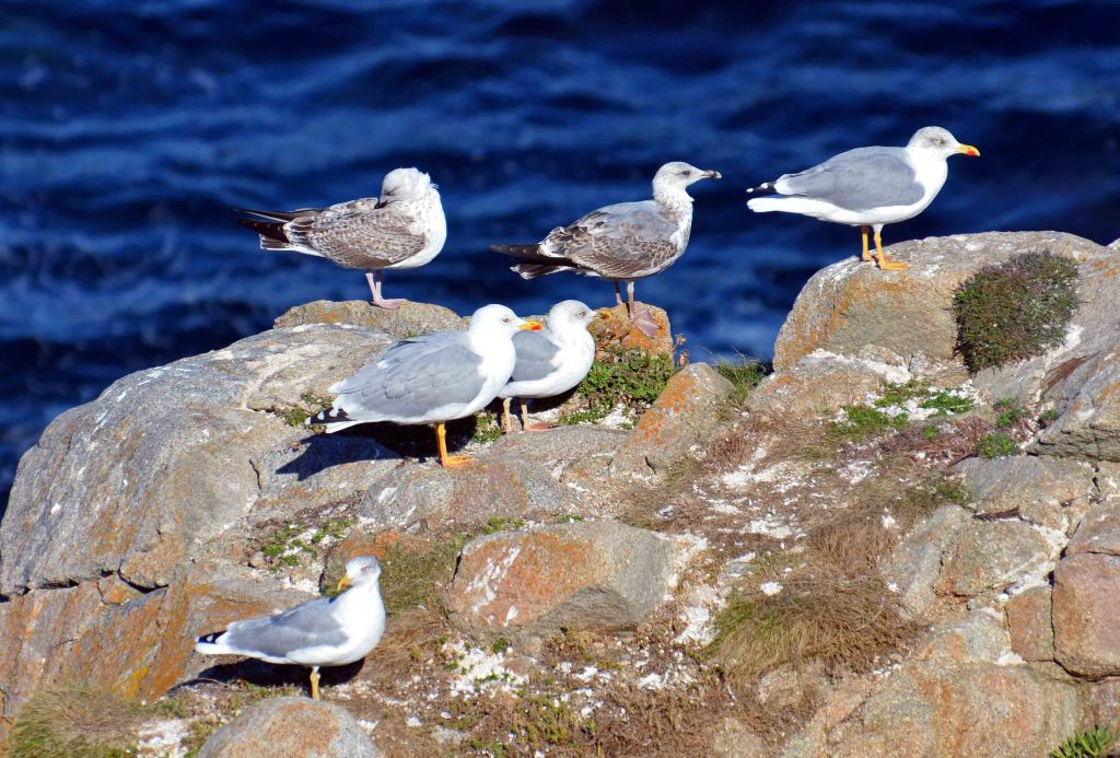 Yellow legged gulls (Larus michahellis) at Cabo de Bares in Galicia, NW Spain.
