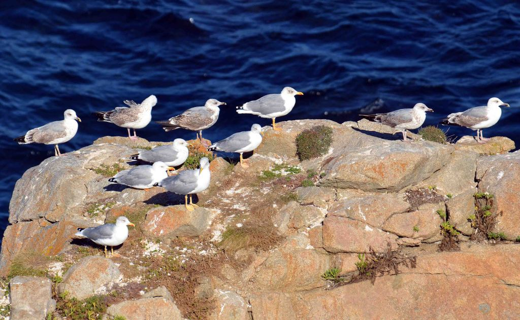 Yellow legged gulls (Larus michahellis) of various ages.
