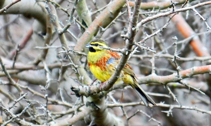 Male Cirl Bunting in early April