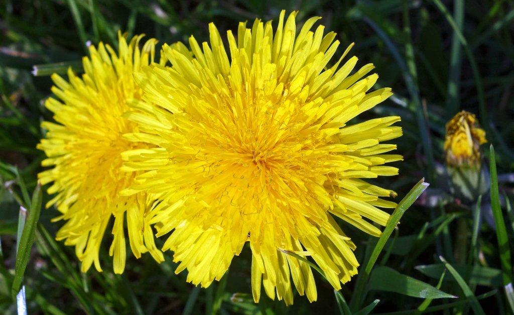 Dandelion flower head(Taraxacum officinale): count the florets!