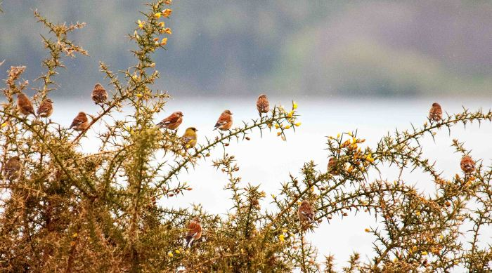 A lineup of linnets!