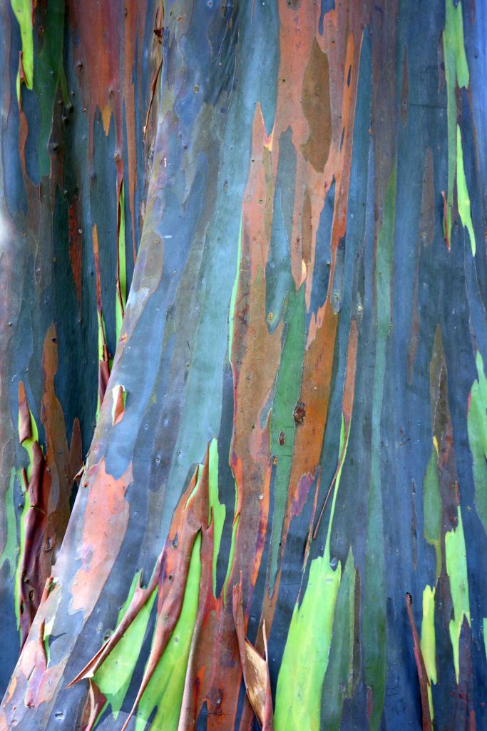 Rainbow eucalyptus bark (Eucalyptus deglupta)