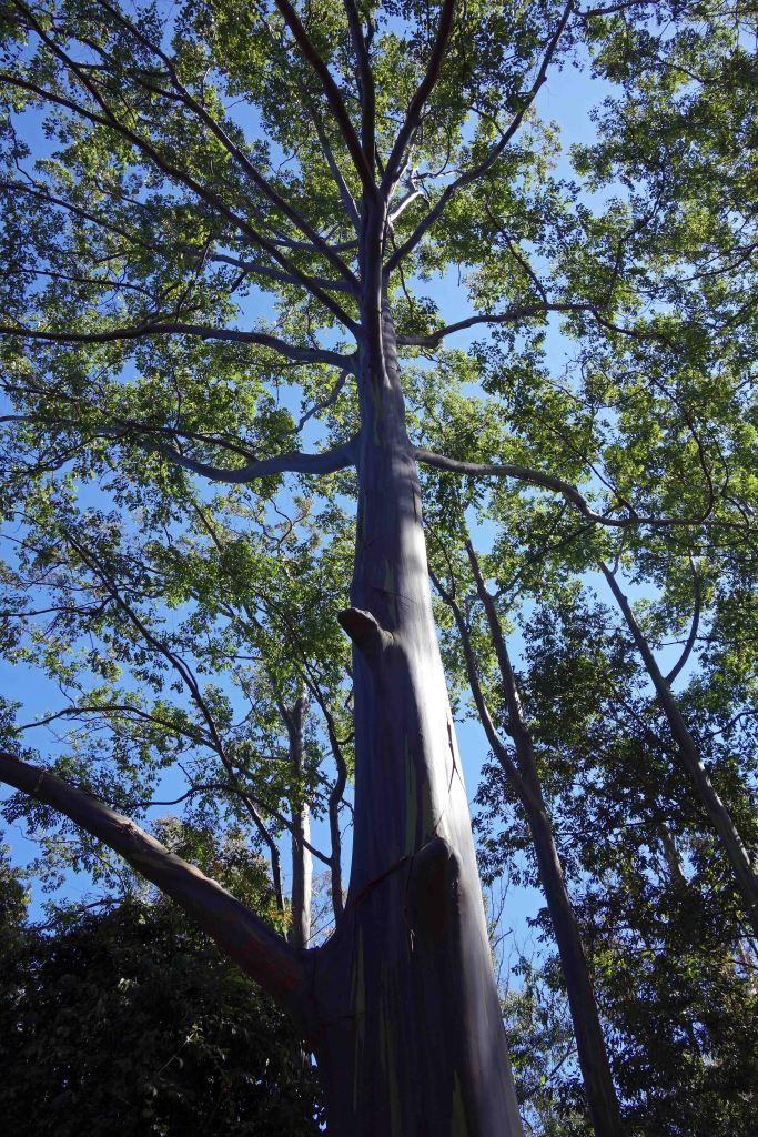 Rainbow eucalyptus tree (Eucalyptus deglupta) growing in Doi Sutep-Pui NP headquarters near Chiang Mai