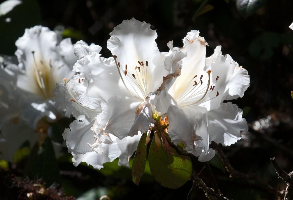 Rhododendron ludwigianum (Doi Inthanon, TH)