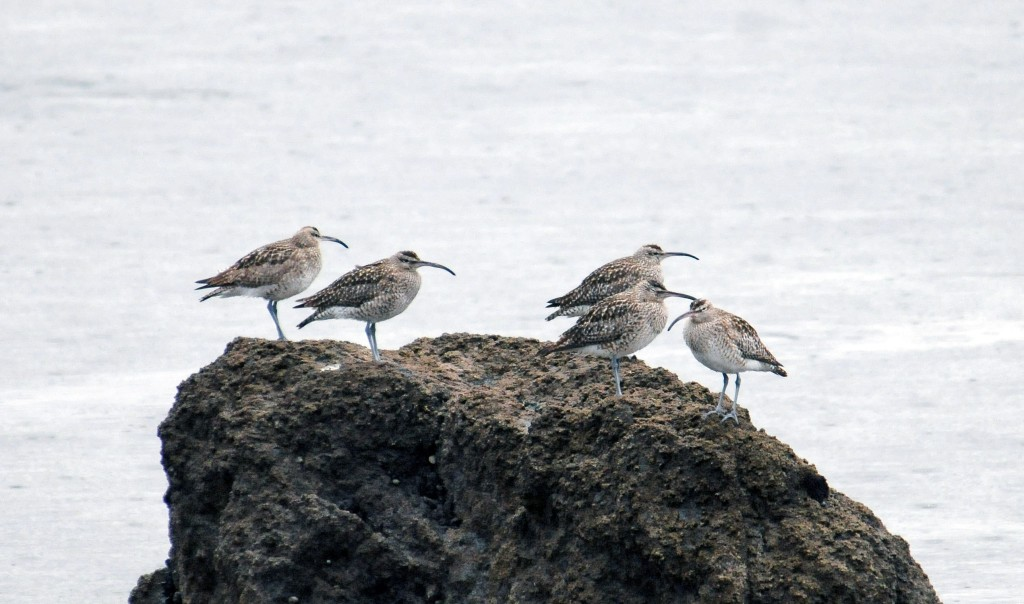 Whimbrels (Numenius phaeopus)  sitting on a rock waiting for low tide
