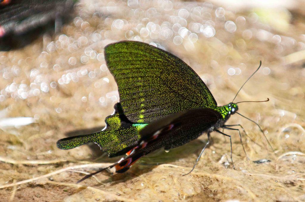 Paris Peacock (Papilio paris) mud-puddling