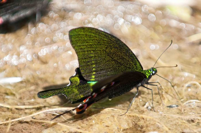 Paris Peacock (Papilio paris) mud-puddling