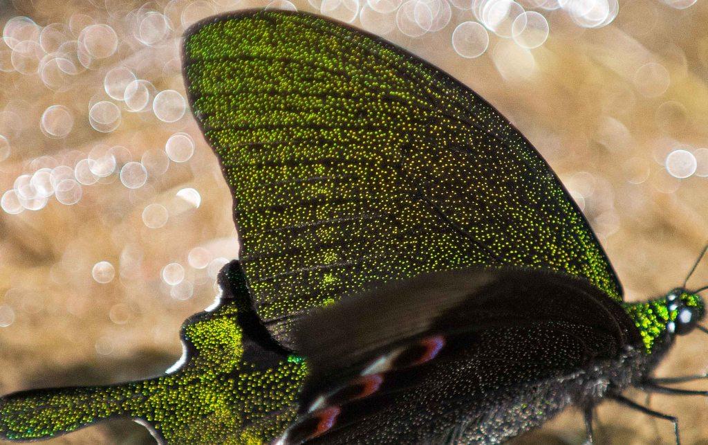 Paris Peacock (Papilio paris) showing wing scales