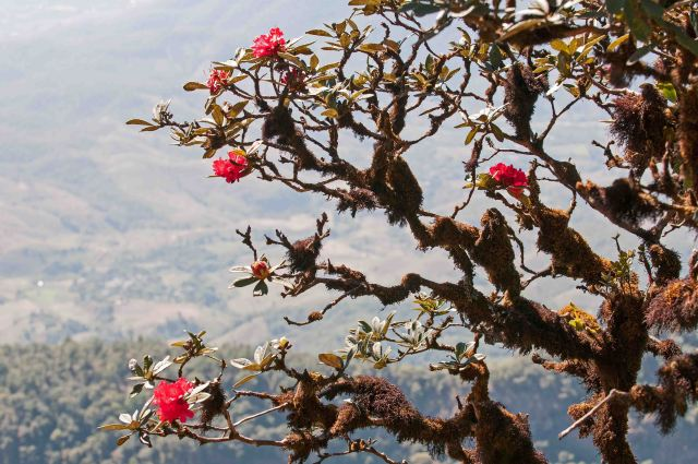 Rhododendron arboreum subsp. delavayi on Doi Inthanon, Thailand