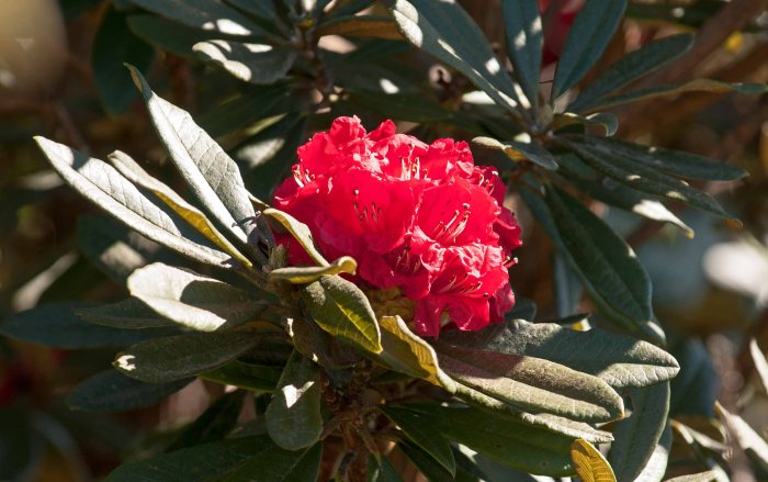 Rhododendron arboreum subsp. delavayi flower on Doi Inthanon, Thailand