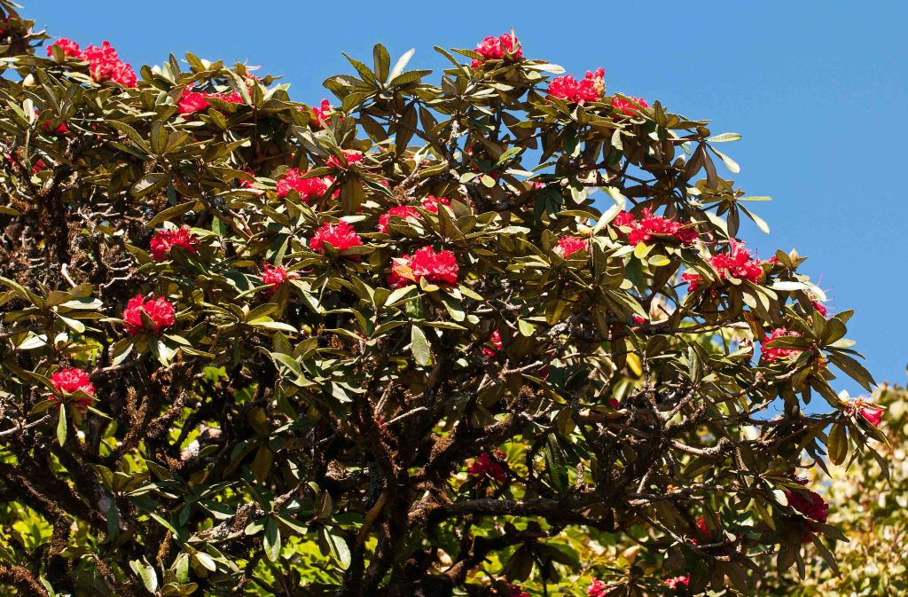 Flowering  Rhododendron arboreum subsp. delavayi tree on Doi Inthanon. Thailand