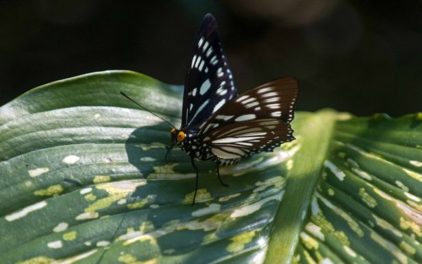 The Courtesan (Euripus nyctelius) male tasting a leaf surface