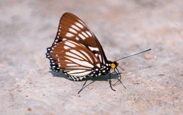 The Courtesan (Euripus nyctelius) male