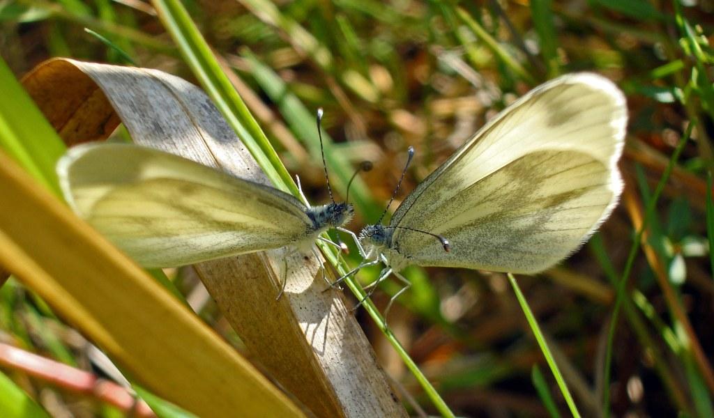 Wood whites (Leptidea sinapis)