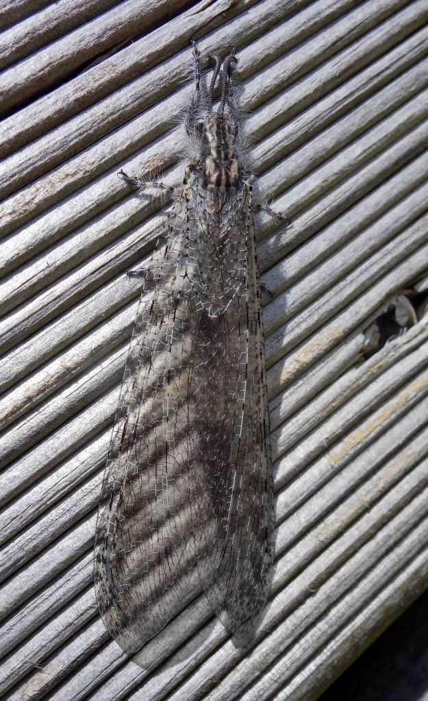 Antlion adult (Acanthaclisis baetica)