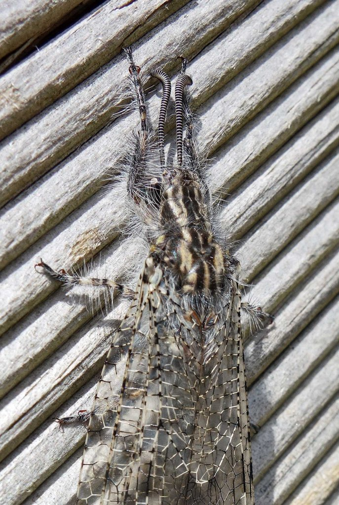 Antlion adult (Acanthaclisis baetica) close up of head and thorax