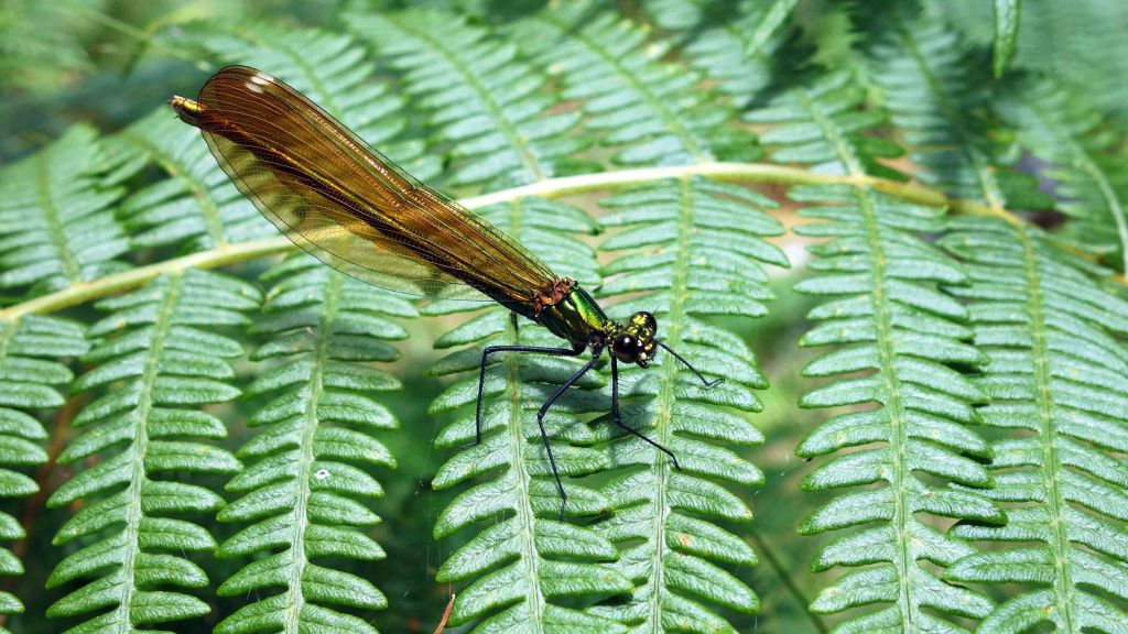 Beautiful Demoiselle (Calopteryx virgo meridionalis) female