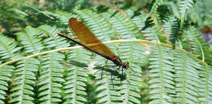 Beautiful Demoiselle (Calopteryx virgo meridionalis) female
