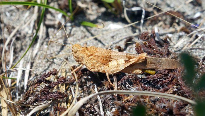 Blue-winged Grasshopper (Oedipoda caerulescens)