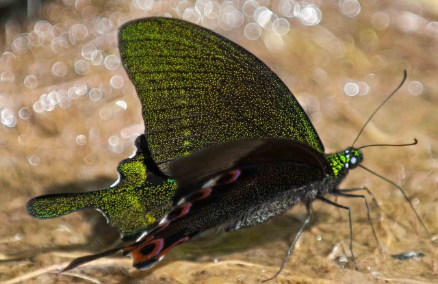 Tiny iridescent scales on the Paris Peacock butterfly wings