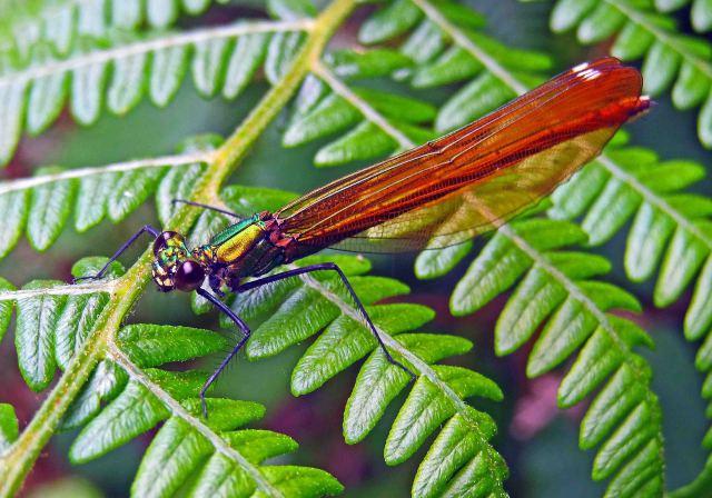The Beautiful Demoiselle (Calopteryx virgo meridionalis)